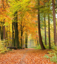 Autumn Forest Fotobehang MS-3-0099