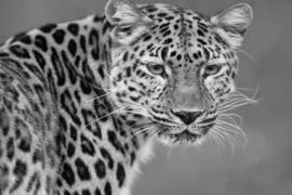 120 x 80 cm - Glasschilderij - schilderij fotokunst dieren - luipaard - foto print op glas --