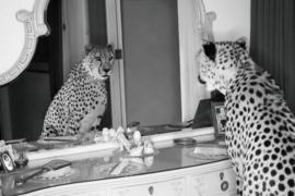 160 x 110 cm - Glasschilderij - schilderij fotokunst - Cheetah - met metaalfolie - foto print op glas