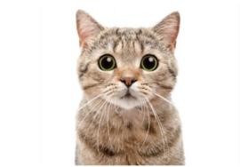 Schilderij Dibond - Kat