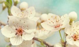 Schilderij Dibond - Witte Bloemen