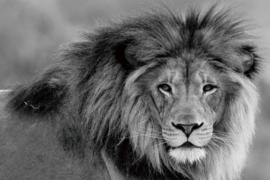 160 x 110 cm - Glasschilderij - schilderij fotokunst dieren - leeuw - foto print op glas --