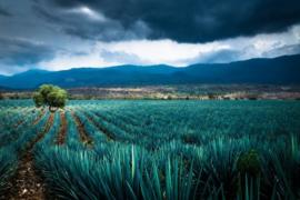 120 x 80 cm - Glasschilderij Agave - schilderij glaskunst - cactus veld - foto print op glas --