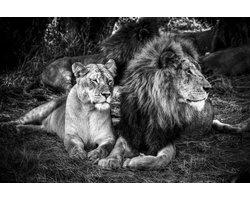 120 x 80 cm - Leeuwen in zwart wit - Glasschilderij - Big Five