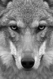 Plexiglas schilderij - Wolf - 80x120 cm