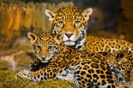 120 x 80 cm - Glasschilderij - schilderij fotokunst dieren - jaguar - foto print op glas