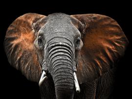 120 x 80 cm - Glasschilderij dieren -  Olifant - foto print op glas --