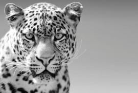 120 x 80 cm - Glasschilderij luipaard - schilderij fotokunst dieren - foto print op glas --