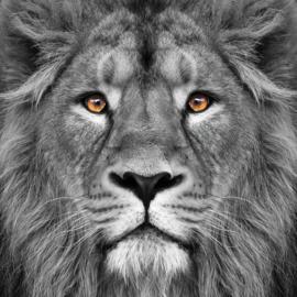 80 x 80 cm - Glasschilderij leeuw - schilderij fotokunst dieren -  Foto print op glas