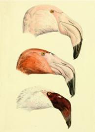 Plexiglas schilderij - Flamingo