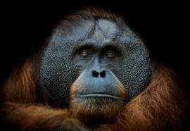 Glasschilderij - Orang oetan - foto print op glas