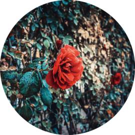 80 cm rond - Glasschilderij - rond schilderij fotokunst - Roos - foto print op glas