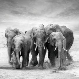 120 x 120 cm - Glasschilderij olifanten - schilderij fotokunst dieren - UV geprint - foto print op glas