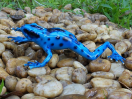 Tuinbeeld - glassculptuur - beeld - blauwe kikker