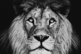 120 x 80 cm - Glasschilderij - schilderij fotokunst dieren - leeuw - foto print op glas