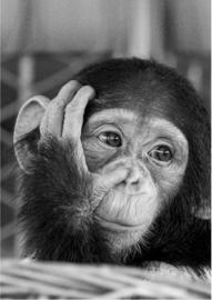 80 x 120 cm - Plexiglas schilderij dieren - Aapje chimpansee - foto zwart wit print op acryl - fotokunst afbeelding op acryl