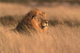 120 x 80 cm - Glasschilderij leeuw - schilderij fotokunst dieren - Leeuw - foto print op glas