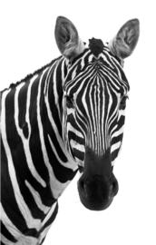 80 x 120 cm - Schilderij Dibond - Foto op aluminium - fotokunst - Zebra