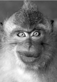 80 x 120 cm - Plexiglas schilderij dieren - aap - foto zwart wit print op acryl - fotokunst afbeelding op acryl
