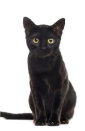 Schilderij Dibond - Zwarte Kat