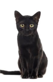 Foto op hout - Zwarte Kat