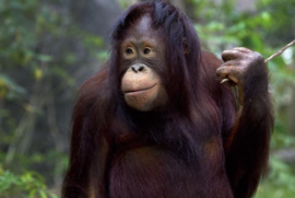 120 x 80 cm - Glasschilderij - Chimpansee - schilderij fotokunst - foto print op glas --
