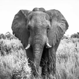 100 x 100 cm - Glasschilderij olifant - schilderij fotokunst - Olifant - foto print op glas