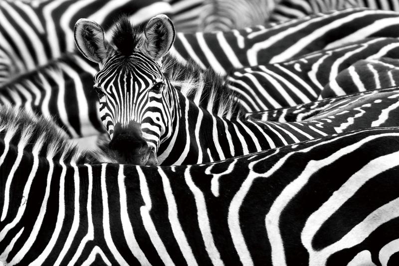 120 x 80 cm - Glasschilderij zebra - schilderij fotokunst dieren - Zebra's - foto print op glas