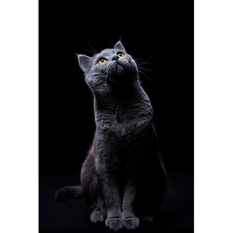 80 x 120 cm - Schilderij Dibond - Foto op aluminium dieren - Fotokunst Kat - Mondiart