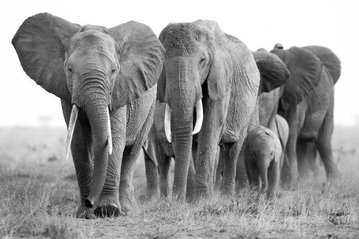 160 x 110 cm - Glasschilderij - Kudde olifanten - Dierenrijk