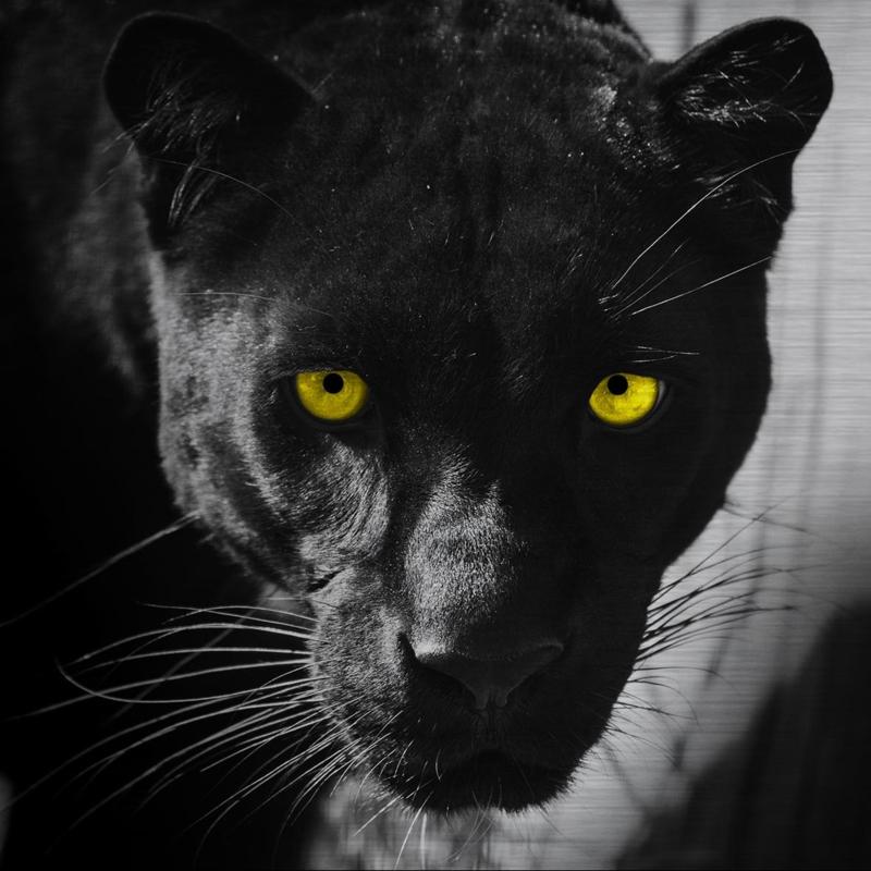 Schilderij Dibond - Zwarte Panther
