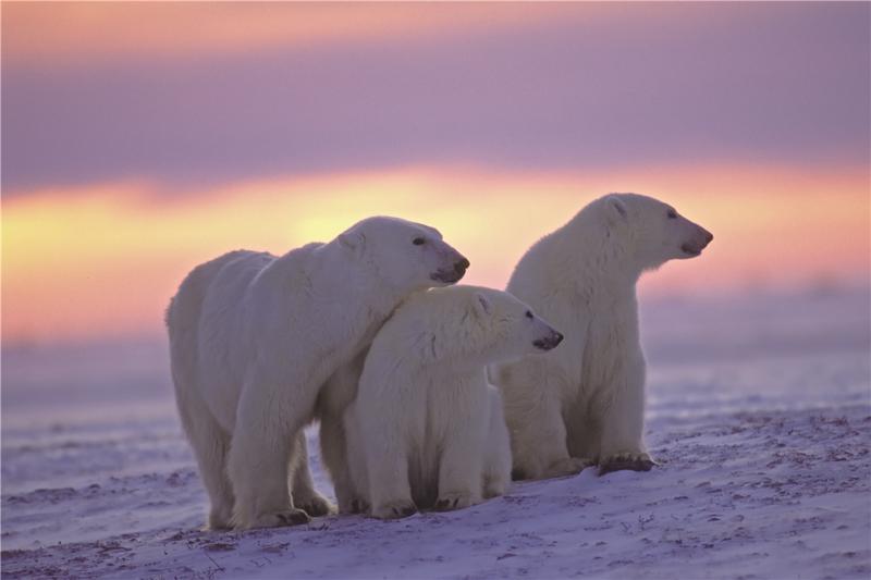 120 x 80 cm - Glasschilderij - schilderij fotokunst dieren - ijsberen met een zonsondergang - foto print op glas