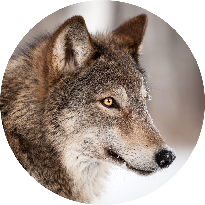 80 cm rond - Glasschilderij dieren - rond schilderij fotokunst - Wolf - foto print op glas