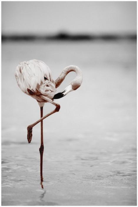 50 x 70 cm - Canvas schilderij met lijst - flamingo - foto op canvas