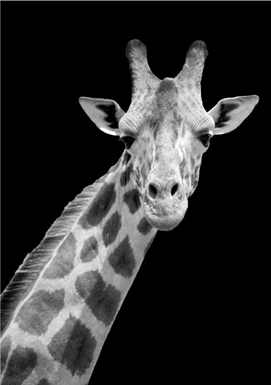 80 x 120 cm - Schilderij Dibond - Foto op aluminium - fotokunst - Giraf