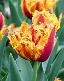 Tulipa dubbel gefranjerd 'Bastia'