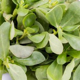 Postelein zomer Gewone groene, Portulaca oleracea
