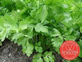 Groenselderij bleekselderij 'Tall Utah', Apium graveolens var. dulce Biologisch