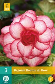 Begonia grandiflora 'Bouton de Rose'