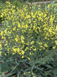 Broccoli roosjes 'Summer Purple', Brassica oleracea var. cymosa