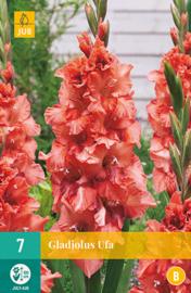 Gladiolus ruffled 'Ufa'