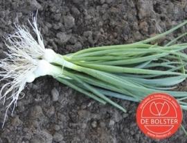 Bosui 'White Lisbon', Allium cepa Biologisch