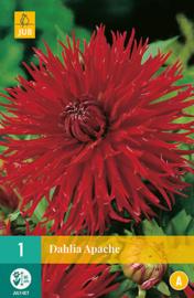 Dahlia fimbriata 'Apache' 90 cm