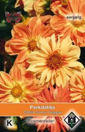 Dahlia variabilis 'Sunny Reggae', Dahlia