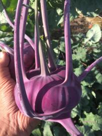 Koolrabi 'Delikatess Blauwe', Brassica oleracea var. gongylodes Biologisch