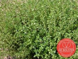 Tijm, Thymus vulgaris Biologisch
