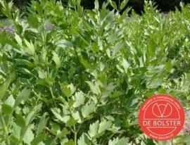 Maggiplant, Lavas Levisticum officinale Biologisch