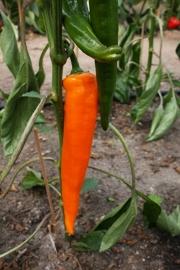 Zoete oranje puntpaprika 'Kyra', Capsicum annuum Biologisch