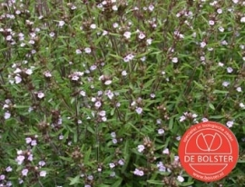 Bonenkruid, Satureja hortensis Biologisch