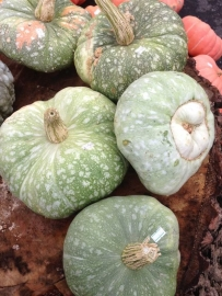 Pompoen 'Turk's Turban x Triamble', Cucurbita maxima
